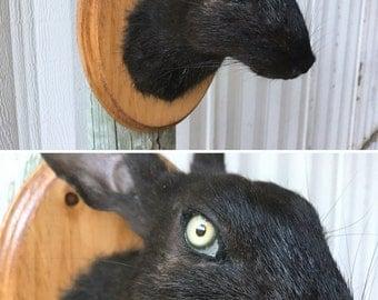 Black Rabbit Shoulder Mount 001