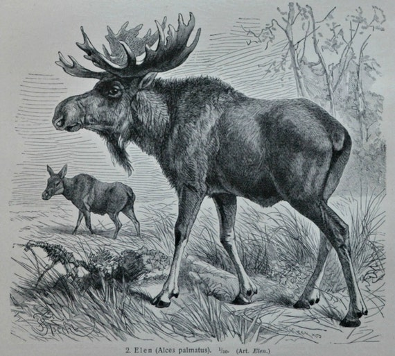 Reindeer engraving. Moose. Elk. Zoology print. Old book plate, 1904. Antique  illustration. 112 years lithograph. 9'6 x 6'2 inches.