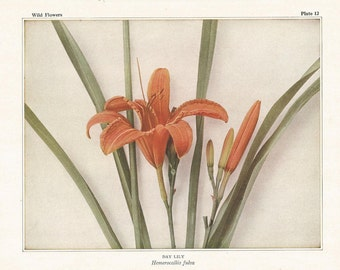 DAY LILY Antique Botanical Wildflower Art Print for herbalist, gardener, naturalists / Vintage nature print, garden print, Antique floral