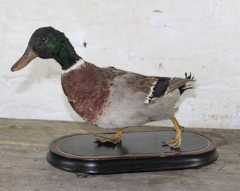 Taxidermy mallard duck