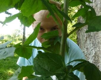 Lactuca Biennis, Tall Blue Lettuce, Tall Wood Lettuce. Wild Lettuce