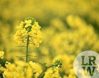 Fine Art Photography Yellow Flower Digital Download