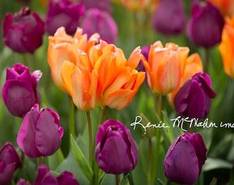 Flower photography, large wall art, Colorful wall decor, purple orange, tulip photo, bedroom art, nature photo, home decor, office art