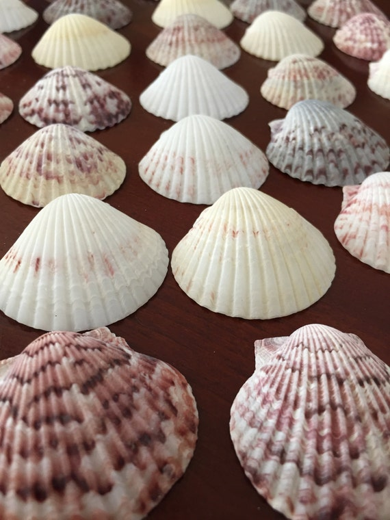 Over 50 large scallop seashells craft by flamingoemporium for Large seashells for crafts