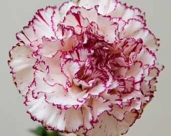 Carnation Mixed Colours (Chabauds) seeds - 25 seeds