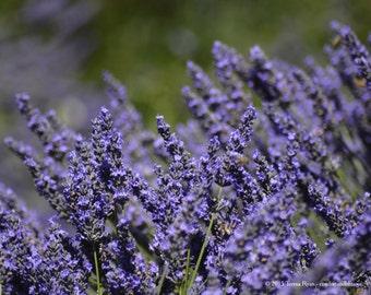 Lavender 9 - Sequim WA