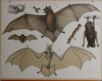 Vintage  Old Print on cardboard  Bat School Chart Lithograph