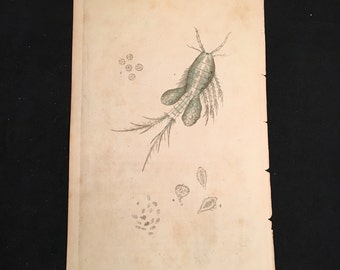 Four-Horned Copepod 1796 Print, Antique Plankton Print, Original Hand-Colored Engraving