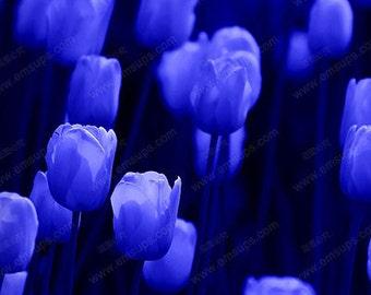 Rare Tulip Bulbs Available Blue Tulips Variety Fresh Bulbous Root Flowers 10 Bulbs (Item No: 13)