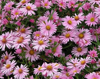 PINK New England ASTER Seeds