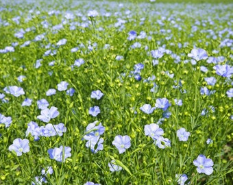Medicinal Seeds, Flax Seed, Flax, Linum Usitatissimum, 50 Seeds Per Pack, Organic Seeds, GMO Free