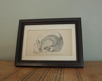 Human Skull Anatomical Illustration