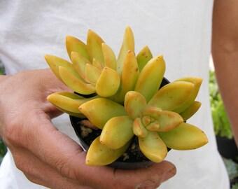 Sedum Adolphii Golden Sedum Succulent