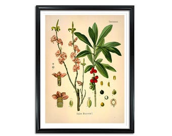 Paradise Plant Botanical Print, Daphne Mezereum, Paradise, kitchen print, medical botanicals, vintage botanicals, medical botanical prints
