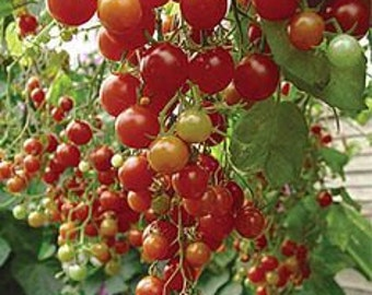 Cherry Tomato 'Sweetie' 20 Seeds - Organic,super sweet, high yield