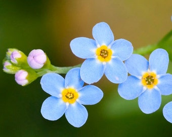 SALE Cynoglossom amabile Chinese Forget-Me-Not Tiny Blue Flowers 500 Seeds #1163