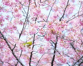 Japan Kyoto nature photography - cherry blossoms - sakura - bird - fine wall art - home decor - zen