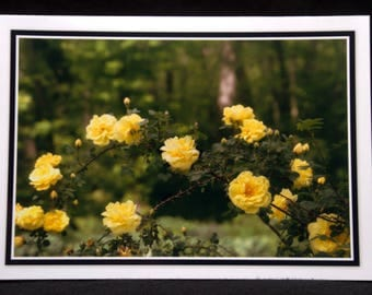 Yellow Roses In Bloom 5x7 Blank Card By ThomasMinutoloPhotos