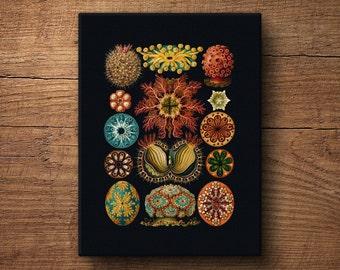 Coastal canvas print, Ernst Haeckel, Canvas print, Nautical prints, Beach art, Vintage art, Sea urchins, Print on canvas, Jellyfish print