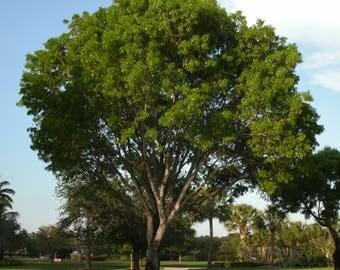 50 Swietenia mahogani Seeds, West Indies Mahogany Seeds