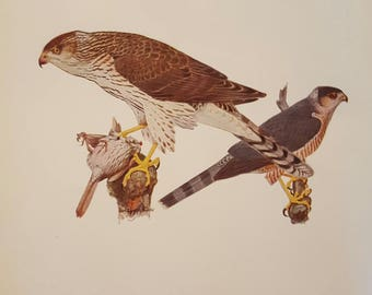 Vintage Print, Cooper's Hawk, Fuertes