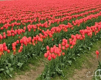 Tulip Fields at the Skagit Valley Tulip Festival
