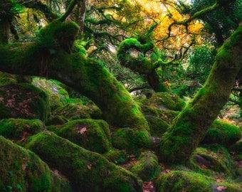 Wistmans Wood, moss, green, trees, photograph, photo, print, framed