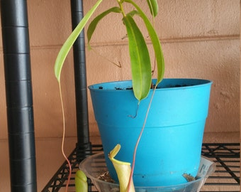rooted ventrata clipping