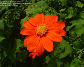 Mexican Sunflower, Tithonia Torch 50 seeds