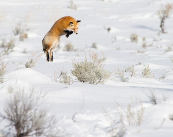 The jump of the Red Fox - Wyoming