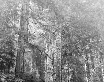 Redwoods black and white framed photograph