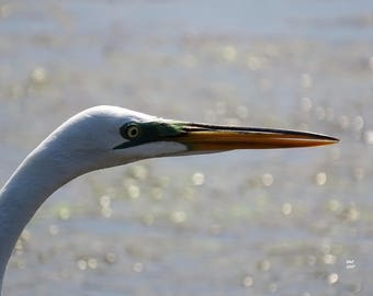 Great Egret wearing his Green