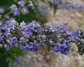 Chaste Tree   Vitex agnus-castus   60 Fruits