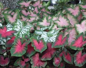 Caladium Mix Blend Color , Foliage Bulb , Summer Blooming Plant