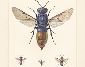 Vintage lithograph of the cuckoo wasp from 1955