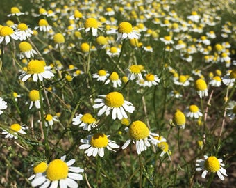 Powdered Chamomile florets only, Matricaria recutita organic