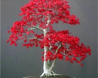 20 Seeds Japanese Red Maple Bonsai Tree Seed Beautiful Rare Landscaping Home & Garden Decoration
