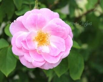 Pink Rose Photo, printable for cards, website, blog, Garden art, Cape Cod, stock photo, business card, design,