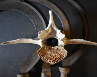 XL bison vertebrae taxidermy