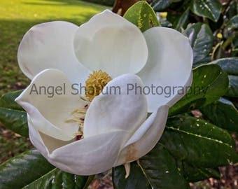 Magnolia Bloom Digital Photo-Digital Download-Photography-Photograph-Flower-Blossom