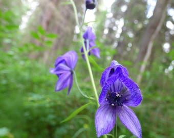 deadly beauty - digital photography download x2 photos - instant download, monkshood, wolfbane, aconitum, queen of all poisons, flower