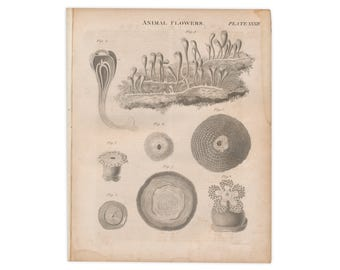 Two original prints from 1824 edition of Encyclopædia Britannica; Animal Flowers and Animalcules - Free US Shipping