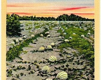 Vintage Old South Postcard - A Field of Watermelons (Unused)
