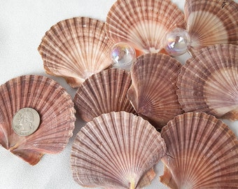 Flat Scallop Seashells, Flat Scallop Shells, Large Scallop Sea Shells, Pectin Shells, Beach Wedding Shells, Mexican Flat Scallops - 3PC
