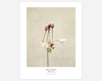 Field Garlic Flower Poster - Original Art Print - Botanical Wall Art - Large Botanical Print