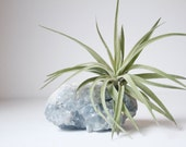 Unique Air Planter, Celestite Crystal Geode, Airplant, Tillandsia Velutina, Spiritual Boho Yoga Studio Decor