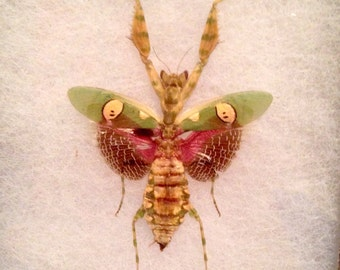 Female Flower Mantis, Taxidermy, Oddity, Curiosity, Insect, Bug Art, Mature