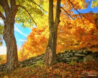Old Maples and Stone Wall Print