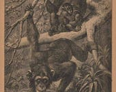 1901 Animal Print - Chimpanzee Illustration from The Child's History of Animals / Antique book page for Framing