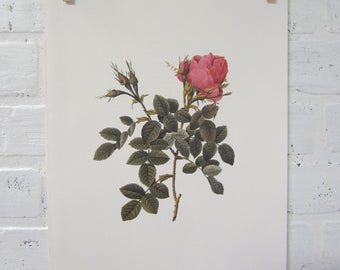 Redoutes Roses Book Page Plate Botanical Wall Art Pink Rosa Bifera pumila Rose